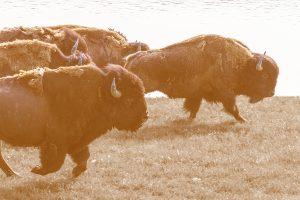 Heard of buffalo running